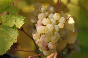 Friuli Venezia Giulia grappolo Riesling